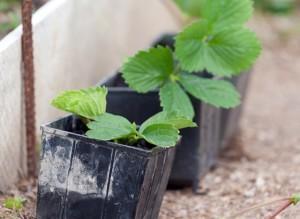Розсада полуниці для вирощування в теплицях