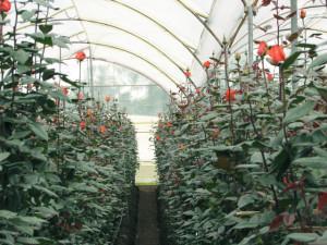 Троянди у Теплиці