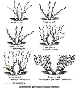Схема формування виноградного куща.