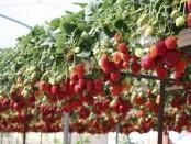 Вирощування полуниці в теплицях як бізнес