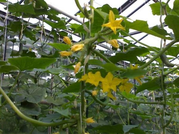 Вирощування огірків в теплиці - як садити розсаду, проводити полив і підживлення