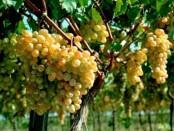 Як вирощувати виноград у теплиці - особливості посадки та догляду