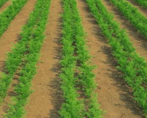 Вирощування моркви: технологія, агротехніка та умови