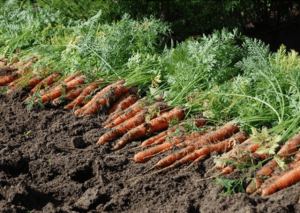 Вирощування моркви: технологія