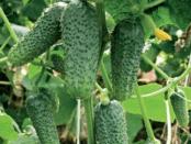 Посів огірків. Вирощування огірків та існуючі сорти