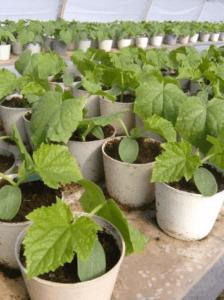 Вирощування огірків розсадним способом
