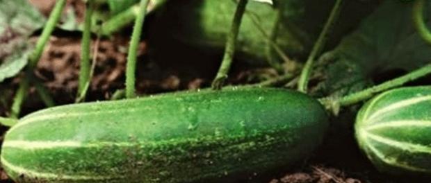 Особливості Вирощування огірків на компостній грядці