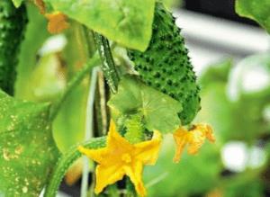 Вирощування огірків на компостній грядці