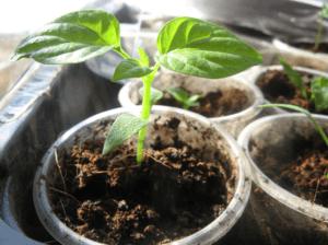 Підготовка ґрунту для вирощування розсади перцю