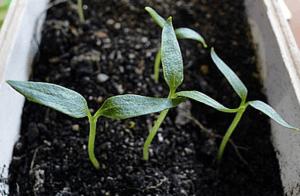 Посів насіння перцю
