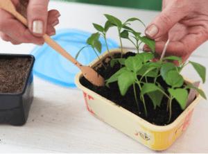 Догляд за розсадою перцю - підгодівля й полив - опис з фото.