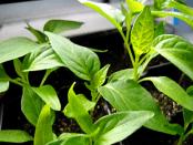 Вирощування розсади перцю - підготовка насіння, ґрунту: Як виростити вдома міцну розсаду перцю