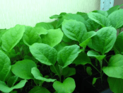 Розсада баклажанів - вирощування в домашніх умовах