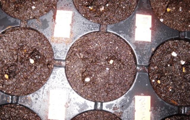 Коли сіяти насіння баклажанів на розсаду у 2020 році - фото.