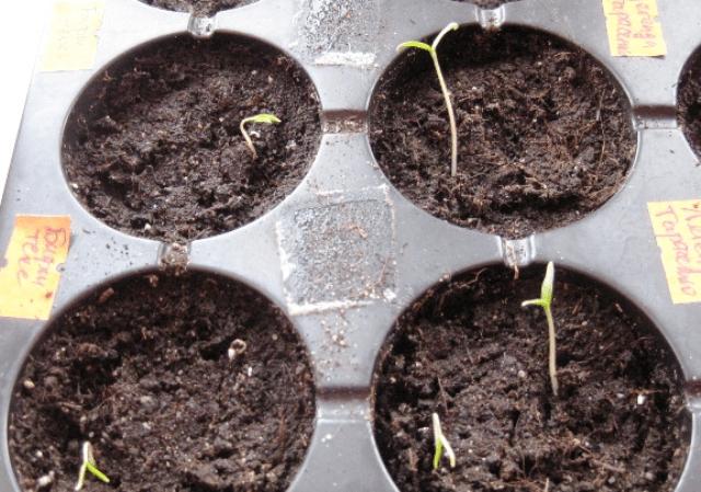 Сходи томатів - 6-й день після посіву
