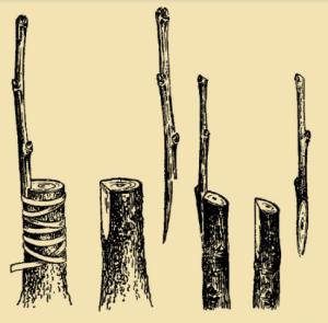 Щеплення дерева