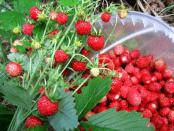 Вирощування полуниці (суниці) - догляд та боротьба з хворобами