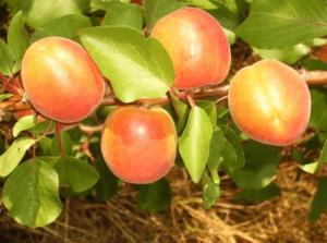Як виростити абрикос. Існуючі сорти абрикосу