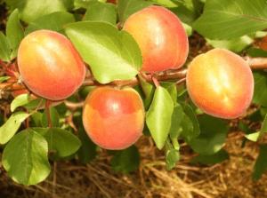 Обрізка абрикосу навесні