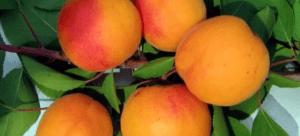 Коли краще посадити абрикос?