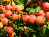 Обрізка абрикосу навесні та у літній період