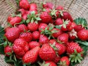 Догляд за полуницею - Боротьба із шкідниками полуниці
