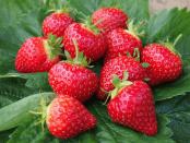 Кращі сорти полуниці - Популярні та голандські сорти