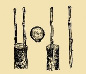 Щеплення дерев.