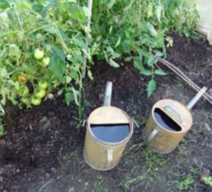 Догляд за томатами: полив, підживлення