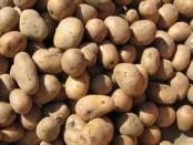Підготовка картоплі до посадки. Пророщування картоплі