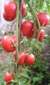 """Сорт томатів """"Чудо землі"""""""