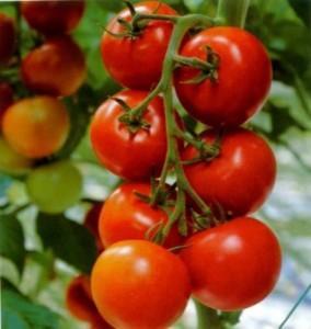 """Сорт томатів """"Санька"""""""