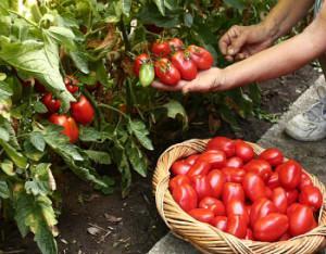 Прибирання плодів томату