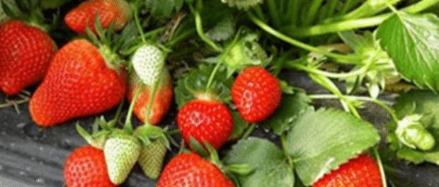 Добрива для полуниці - Чим удобрювати садову суницю