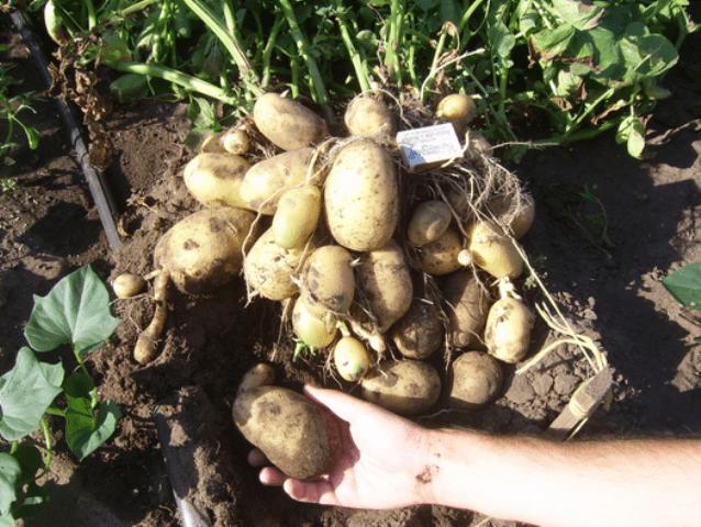 Добрива для картоплі
