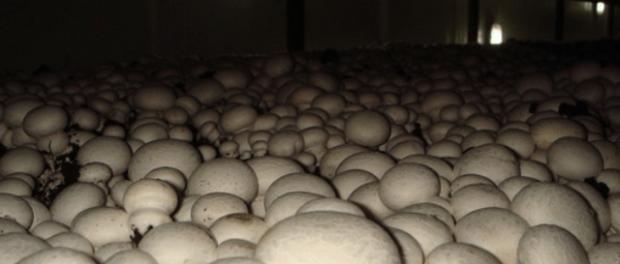 Як вирощувати печериці в домашніх умовах