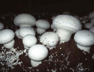 вирощування печериці