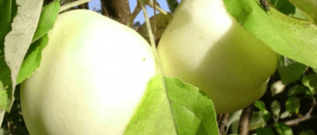 Щеплення яблуні навесні - основні способи щеплення