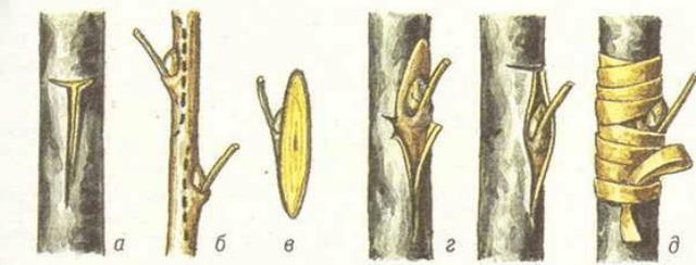 Окуліровка яблуні (щеплення вічком)