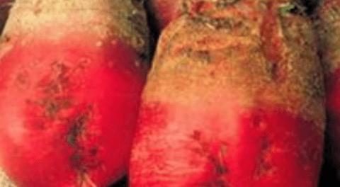 Буряк кормовий - тонкощі вирощування та вірний догляд