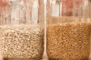 Вирощування кормового буряку- підготовка насіння, посівні роботи