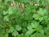 Вирощування петрушки, її корисні властивості і сорти