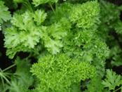 Вирощування зелені:петрушки та кропу у відкритому ґрунті