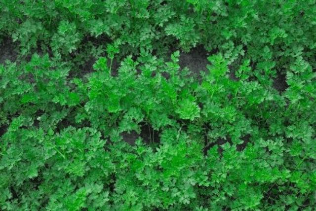 Вирощування зелені:петрушки та кропу