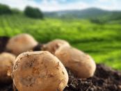 Основні хвороби картоплі та заходи боротьби з ними