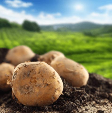 Хвороби картоплі: Фото і опис найпоширеніших хвороб картоплі