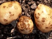Хвороба картоплі чорна парша - ознаки та заходи боротьби