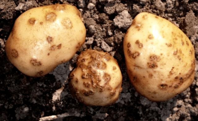 Хвороба картоплі чорна парша — ознаки та заходи боротьби
