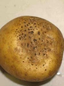 ураження картоплі чорною паршею