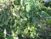 Фітофтороз картоплі і томатів - як боротися народними засобами